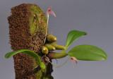 Bulbophyllum anjae