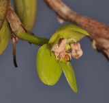Bulbophyllum macrorhopalon. Close-up side.