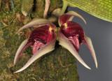 Bulbophyllum reticulatum. Closer.