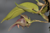 Bulbophyllum reticulatum. Closer side.