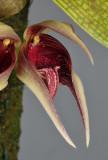 Bulbophyllum reticulatum. Close-up.