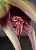 Bulbophyllum reticulatum. Close-up lip.