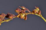 Bulbophyllum sp. sect. Hirtula. Closer.