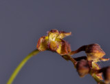 Bulbophyllum sp. sect. Hirtula. Close-up.