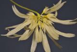 Bulbophyllum purpurascens. Closer.