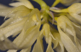Bulbophyllum purpurascens. Close-up.