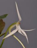 Jumellea arborescens. Close-up.