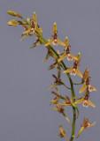 Nabaluia angustifolia