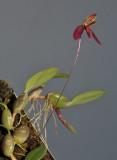 Bulbophyllum josii