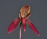 Bulbophyllum josii. Close-up.