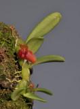 Bulbophyllum scabrum