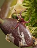 Bulbophyllum sect. Codonosiphon. Side.