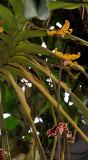 Dimorphorchis lowii. Closer.