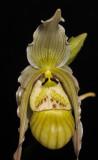 Phragmipedium pearcei. Close-up.