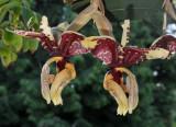 Stanhopea tigrina var. nigroviolacea. Closer.