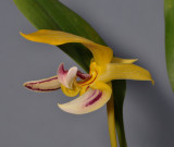 Bulbophyllum dearei. Close-up.