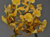 Epidendrum anceps. Closer.