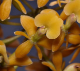 Epidendrum anceps. Close-up.