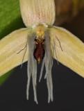 Bulbophyllum nocturnum. Close-up lip and petals.