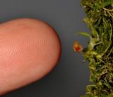 Bulbophyllum aschemon. With finger.