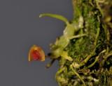 Bulbophyllum aschemon.