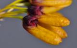 Bulbophyllum retusiusculum. Close-up side.