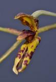 Monomeria barbata. Close-up.