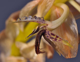 Bulbophyllum schinzianum. Close-up side.