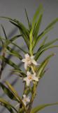 Eria elisheae