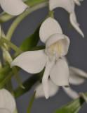 Habenaria leonensis. Close-up.