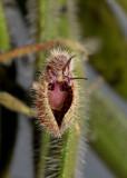 Dresslerella pilosissima. Close-up.