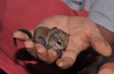 Baby flying squirrel.