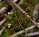 Podochilus sp.