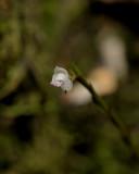 Podochilus sp. Closer.