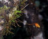 Bulbophyllum montense