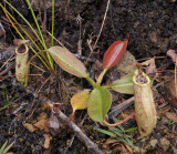 Nepenthes burbidgeae. Young plant.