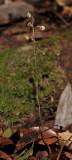 Aphyllorchis pallida