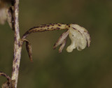 Aphyllorchis pallida. Close-up side.