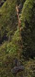 Kuhlhasseltia javanica