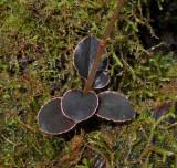 Kuhlhasseltia javanica. Close-up foliage.