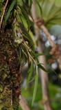 Bulbophyllum pocillum
