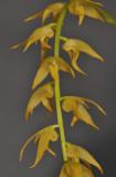 Bulbophyllum obliquum. Closer.