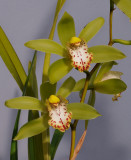 Cymbidium hookerianum. Closer.