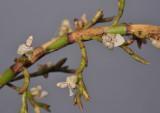 Agrostophyllum sp. nov. Closer.