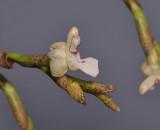 Agrostophyllum sp. nov. Close-up.