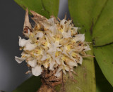 Agrostophyllum sp. Closer.