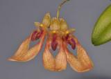 Bulbophyllum annandalei. Close-up.