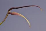 Bulbophyllum antenniferum. Close-up.