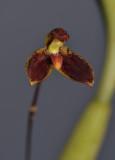Bulbophyllum hemisterranthum. Close-up.