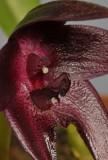 Bulbophyllum vinaceum. Close-up.